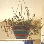 植木鉢を冬バージョンに