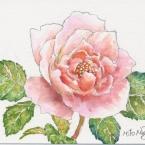 桃色の薔薇
