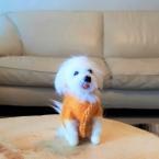 羊毛フェルト/お洋服を着たマルチーズ